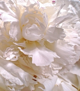 2.  White Peony, iPhone 4s, June 2014; © Sally W. Donatello and Lens and Pens by Sally, 2014