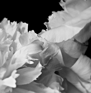 3.  White Peony, iPhone 4s, June 2014; © Sally W. Donatello and Lens and Pens by Sally, 2014