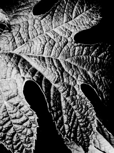 1. Leaf, Oakleaf Hydrangea, iPhone 4s; Copyright © 2014 Sally W. Donatello All Rights Reserved/Lens and Pens by Sally