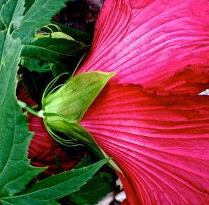 1. Native Hibiscus; Copyright © 2014 Sally W. Donatello All Rights Reserved/Lens and Pens by Sally