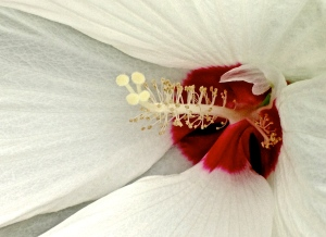 2. Hibiscus; Copyright © 2014 Sally W. Donatello All Rights Reserved/Lens and Pens by Sally