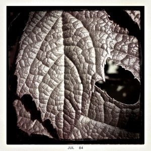 2. Leaf, Oakleaf Hydrangea, iPhone 4s; Copyright © 2014 Sally W. Donatello All Rights Reserved/Lens and Pens by Sally