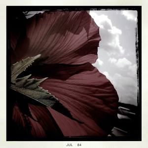 5. Native Hibiscus; Copyright © 2014 Sally W. Donatello All Rights Reserved/ Lens and Pens by Sally