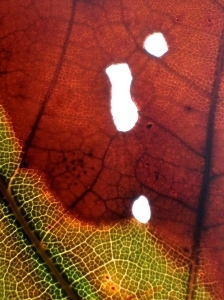 1. Fallen Oak Leaf, iPhone 4s; Copyright © 2014 Sally W. Donatello All Rights Reserved/Lens and Pens by Sally