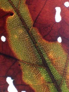 3. Fallen Oak Leaf, iPhone 4s; Copyright © 2014 Sally W. Donatello All Rights Reserved/Lens and Pens by Sally