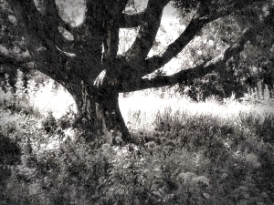 1. Solitary Tree, Longwood Gardens; Copyright © 2014 Sally W. Donatello All Rights Reserved/Lens and Pens by Sally