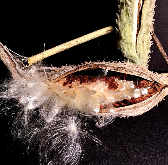 1. Native Milkweed Seedpods, Seeds and Silky Threads; Copyright © 2014 Sally W. Donatello All Rights Reserved/Lens and Pens by Sally