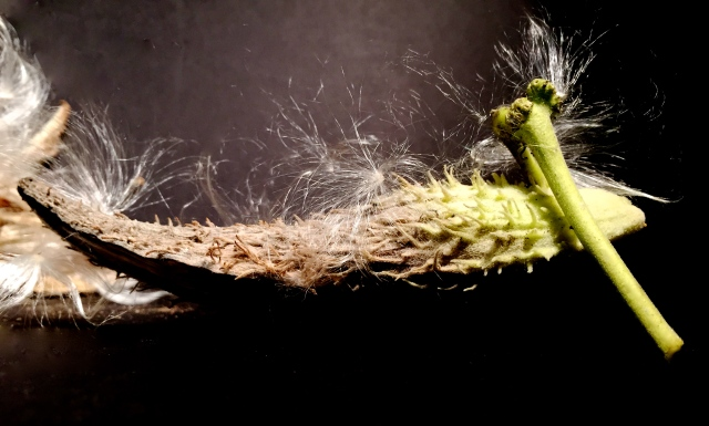 2. Native Milkweed Seedpods, Seeds and Silky Threads; Copyright © 2014 Sally W. Donatello All Rights Reserved/Lens and Pens by Sally