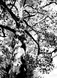 2. Sycamore, UD Campus; Copyright © 2014 Sally W. Donatello All Rights Reserved:/Lens and Pens by Sally