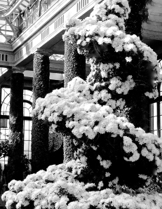 4. White Chrysanthemum Display,  Chrysanthemum Festival, Longwood Gardens; Copyright © 2014 Sally W. Donatello All Rights Reserved/Lens and Pens by Sally
