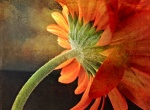 Gerber Daisy; Copyright © 2014 Sally W. Donatello All Rights Reserved/Lens and Pens by Sally