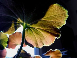 1. Backlit Geranium Leaves; Copyright © 2015 Sally W. Donatello All Rights Reserved/Lens and Pens by Sally
