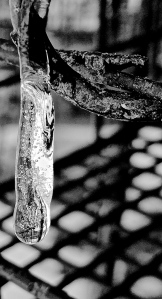 1. Icicle on Raspberry Vine; Copyright © 2015 Sally W. Donatello All Rights Reserved/Lens and Pens by Sally