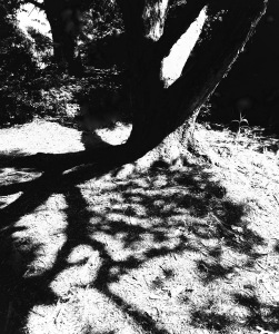 2. Birch Tree; Copyright © 2015 Sally W. Donatello All Rights Reserved/Lens and Pens by Sally