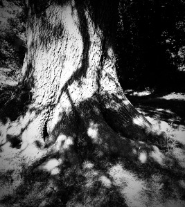 3. Bartram Oak; Copyright © 2015 Sally W. Donatello All Rights Reserved/Lens and Pens by Sally
