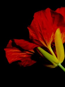 1. Nasturtium; Copyright © 2015 Sally W. Donatello All Rights Reserved/Lens and Pens by Sally