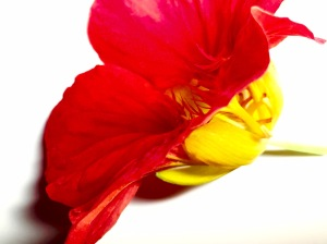 2. Nasturtium; Copyright © 2015 Sally W. Donatello All Rights Reserved/Lens and Pens by Sally