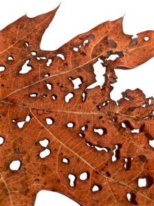 1. Oak Leaf; Copyright © 2015 Sally W. Donatello All Rights Reserved