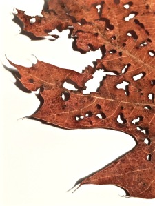 2. Oak Leaf; Copyright © 2015 Sally W. Donatello All Rights Reserved