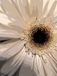 3. White Gerber Daisy; Copyright © 2016 Sally W. Donatello All Rights Reserved
