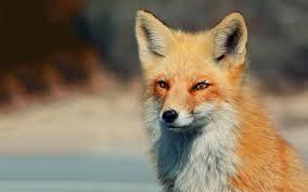 Fox in Spring, Google