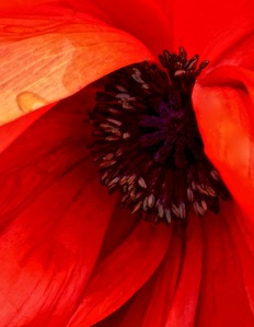 1. Spring Poppy; Copyright © 2016 Sally W. Donatello All Rights Reserved
