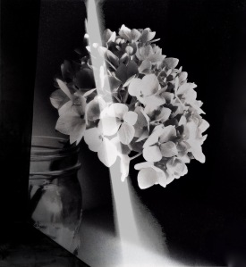 2. Hydrangea with Beam of Light; Copyright © 2016 Sally W. Donatello All Rights Reserved