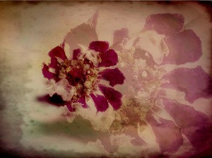 Dried Zinnia Photomontage; Copyright © 2017 Sally W. Donatello All Rights Reserved