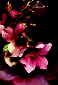 1. Hellebores Photomontage; Copyright © 2017 Sally W. Donatello All Rights Reserved