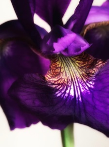 2. Siberian Iris; 2017 Sally W. Donatello All Rights Reserved
