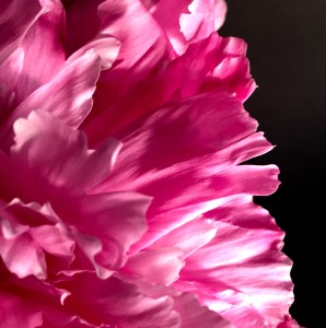 1. Pink Peony; 2017 Sally W. Donatello All Rights Reserved