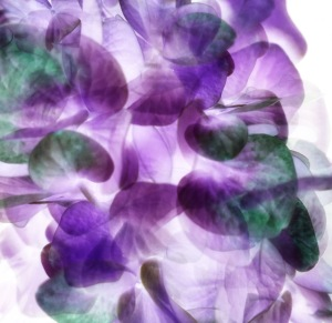 Hydrangea Photomontage; 2017 Sally W. Donatello All Rights Reserved
