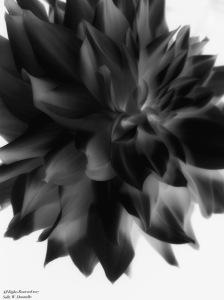 Black Dahlia Photomontage; All Rights Reserved 2017 Sally W. Donatello