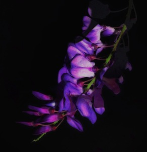 Wisteria Photomontage; 2017 Sally W. Donatello All Rights Reserved