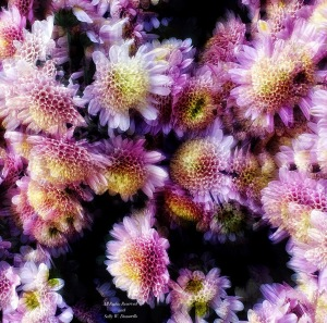 Button Chrysanthemums Photomontage, Longwood Gardens; All Rights Reserved 2018 Sally W. Donatello