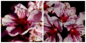 'Bonfire' Rosaceae Collage; All Rights Reserved Sally W. Donatello