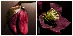 Hellebores Collage; All Rights Reserved 2018 Sally W. Donatello