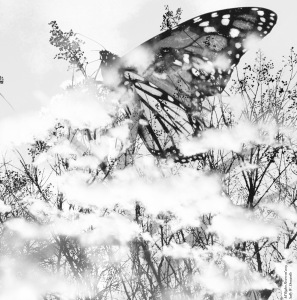 Monarch Photomontage; Sally W. Donatello 2019 All Rights Reserved
